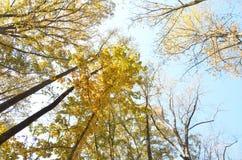 яркий желтый цвет листва падения Стоковая Фотография RF