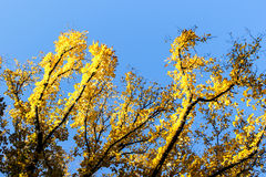 яркий желтый цвет листьев Стоковое фото RF