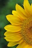 яркий желтый цвет солнцецвета стоковое изображение