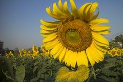 яркий желтый цвет солнцецвета Стоковые Изображения