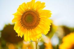 яркий желтый цвет солнцецветов Стоковое фото RF