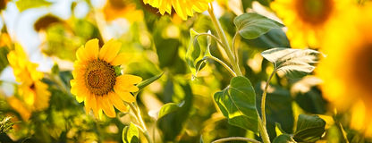 яркий желтый цвет солнцецветов Стоковая Фотография RF