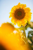 яркий желтый цвет солнцецветов Стоковое Изображение RF