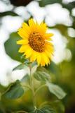 яркий желтый цвет солнцецветов Стоковые Фото
