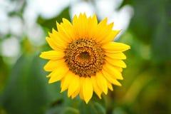 яркий желтый цвет солнцецветов Стоковое Изображение