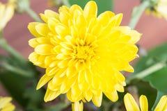 Яркий желтый цвет цветет букет стоковые изображения