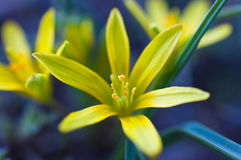яркий желтый цвет цветка Стоковые Изображения