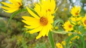 яркий желтый цвет цветка стоковая фотография