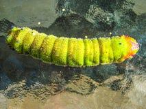 яркий зеленый цвет гусеницы Стоковое фото RF