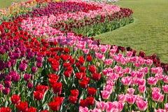 Яркий и красочный сад тюльпана Стоковое фото RF
