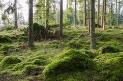 Яркий и мшистый coniferous лес Стоковые Изображения