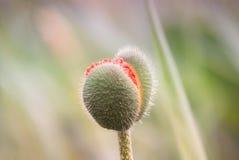 Яркий конец-вверх мака бутона на предпосылке зеленой травы Стоковое Изображение RF