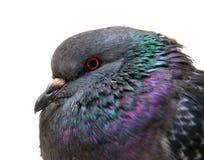 Яркий конец голубя вверх на белизне Стоковое Изображение