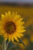 Яркий конец солнцецвета вверх на поле солнцецвета напольно Обрабатывать землю и садовничать Стоковые Фото