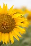 Яркий конец солнцецвета вверх на поле солнцецвета напольно Обрабатывать землю и садовничать Стоковая Фотография RF