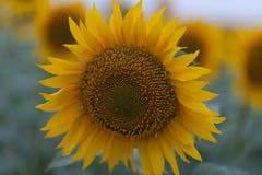 Яркий конец солнцецвета вверх на поле солнцецвета напольно Обрабатывать землю и садовничать Стоковое Фото