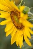 Яркий конец солнцецвета вверх на поле солнцецвета напольно Обрабатывать землю и садовничать Стоковое фото RF