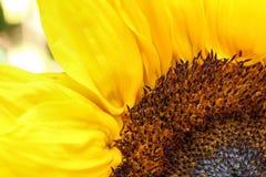Яркий конец солнцецвета вверх на светлой предпосылке Стоковые Изображения RF
