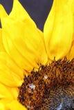 Яркий конец солнцецвета вверх на темной предпосылке Стоковые Фотографии RF