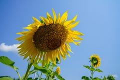 Яркий красивый желтый свежий солнцецвет в поле ландшафта показывая коричневую голову картины, мягкий лепесток, зеленый стержень,  Стоковая Фотография RF