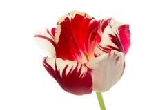 Яркий красно-и-белый тюльпан цветка Стоковые Изображения