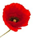 Яркий красный изолированный цветок мака Стоковые Изображения RF