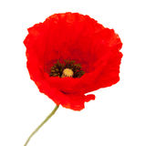 Яркий красный изолированный цветок мака Стоковое фото RF