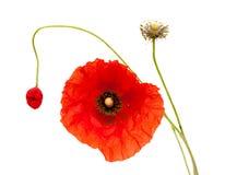 Яркий красный изолированный цветок мака Стоковое Изображение