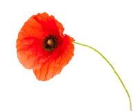 Яркий красный изолированный цветок мака Стоковое Изображение RF