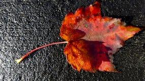 Яркий красный кленовый лист на черной предпосылке Стоковое фото RF