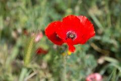 Яркий красный цветок мака в поле Стоковые Изображения