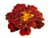 Яркий красный цветок ноготк Terry изолированный на белой предпосылке Стоковое Фото