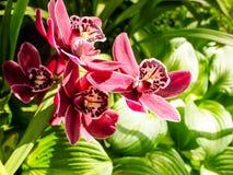 Яркий красный цветок орхидей Стоковая Фотография RF