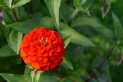 Яркий красный цветок zinnia с наслоенными лепестками стоковые фото
