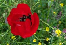 яркий красный цвет мака Стоковая Фотография