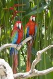 яркий красный цвет попыгая macaw стоковое фото rf