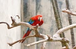 яркий красный цвет попыгая macaw стоковое фото