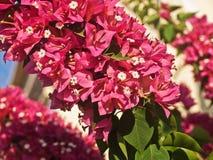 Яркий красный цвет цветет кустарник Стоковые Изображения