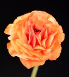 Яркий красный лютик Стоковая Фотография