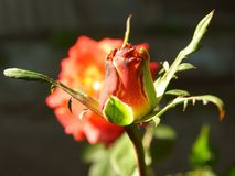 Яркий красный rosebud в моем саде стоковые фотографии rf