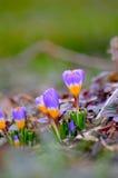 Яркий крокус Стоковые Фото