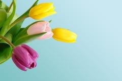 Яркий крупный план букета тюльпанов на голубой предпосылке Стоковая Фотография