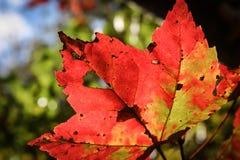 Яркий кленовый лист Красно-апельсина и зеленого цвета Стоковая Фотография RF