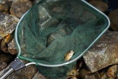 Яркий окунь, малая рыба в большой сети fisher Везение концепции, удача, случай, финансы, вклад, успех, активные остатки стоковое изображение