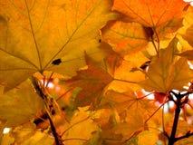Яркий оранжевый бунт осени Стоковые Фото