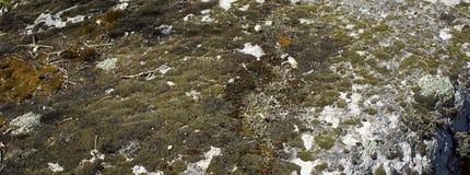 Яркий оранжевый мох на серой стене Стена предпосылки, текстура мха Предпосылка мха Оранжевый мох на текстуре grunge стоковые изображения rf