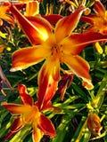 Яркий оранжевый тигр Lilly стоковое фото