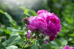 Яркий пион розы пинка Стоковое фото RF
