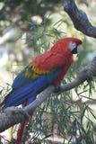 Яркий покрашенный попугай ары шарлаха сидя на ветви Стоковое Изображение RF