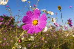 Яркий покрашенный цветок космоса Стоковые Изображения RF